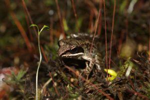 Immature woodfrog.jpg