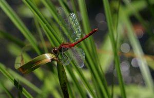dragonfly sp.jpg
