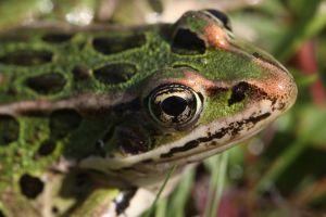 leopard frog.jpg
