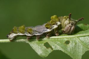 viceroy larva.jpg