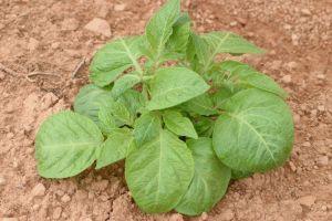 Juvenile plant