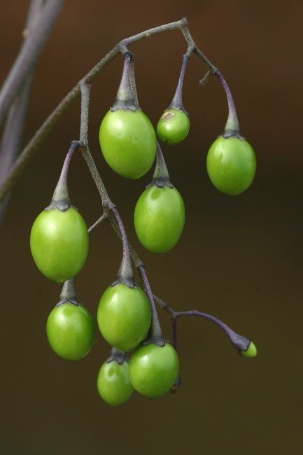 deadly nightshade Img_4120.jpg