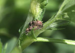 Alfalfa weevil - mating