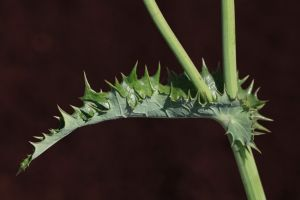 Spiny Annual Sowthistle (Sonchus asper)