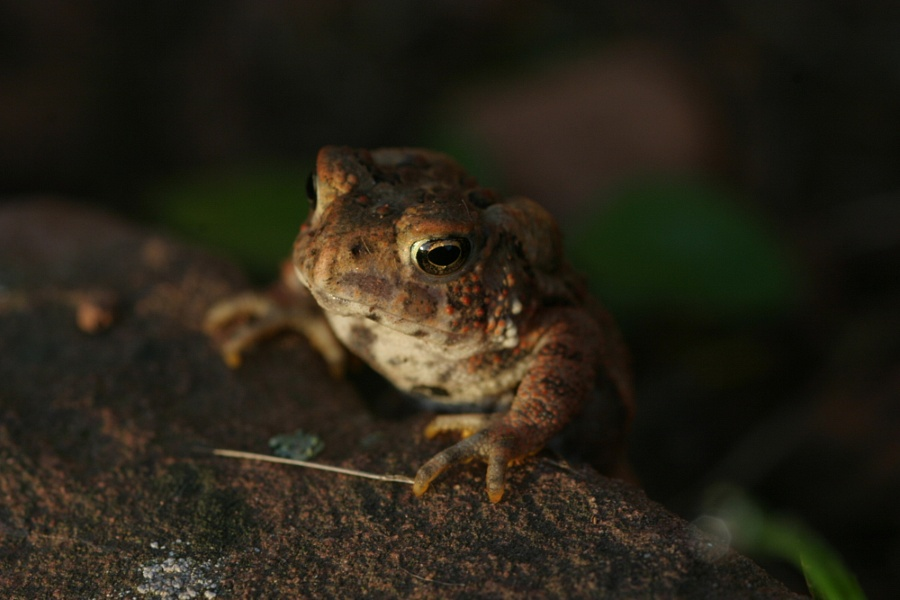 American Toad Img
