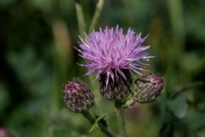 Canada thistle - flowers