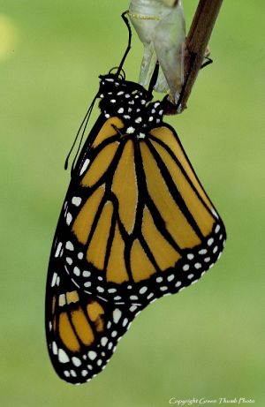 Monarch butterfly Imonarch10 watermark.jpg