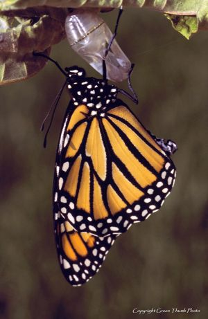 Monarch butterfly Imonarch8 watermark.jpg
