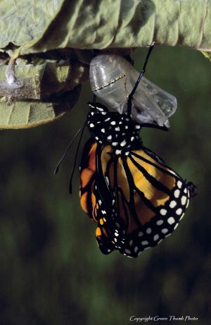 Monarch butterfly Imonarch9 watermark.jpg