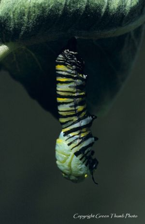 Monarch pupation Imonarch3 watermark.jpg