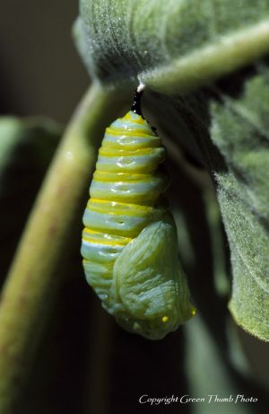 Monarch pupation Imonarch4 watermark.jpg