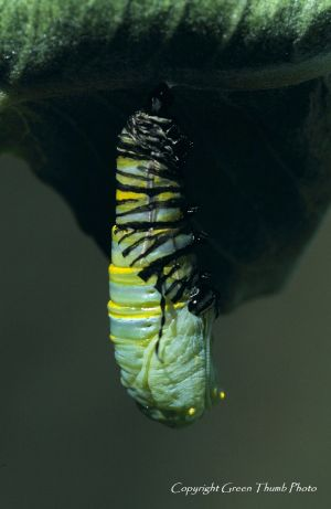 Monarch pupation Imonarch5 watermark.jpg