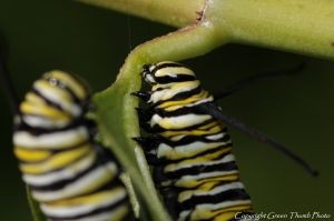 c23-monarch larvae IMG_2544 watermark smaller.jpg