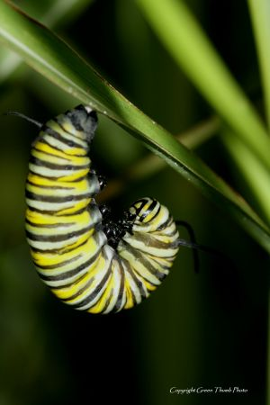 c66-monarch larvae IMG_0164 watermark smaller.jpg