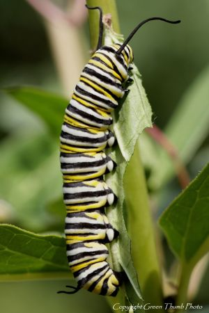c92-monarch larvae IMG_2511 watermark smaller.jpg
