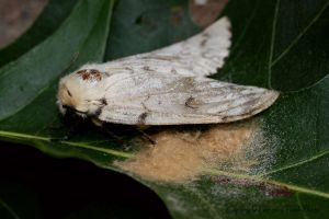 gypsy moth laying eggs IMG_7406.jpg