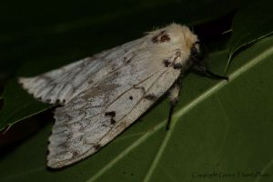 gypsy moth, female IMG_7354.jpg
