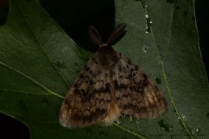 gypsy moth, male IMG_7331.jpg