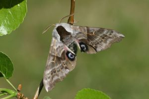 One eyed-sphinx moth